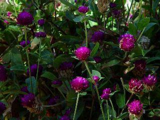gardenpurple.jpg